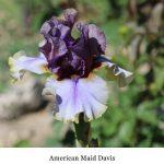 American Maid Davis 02 taken at Aufderheide on 5-24-17 by Jeanet